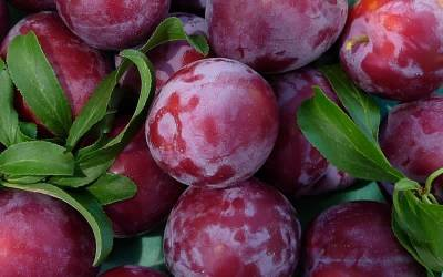 Shop Santa Rosa Plum - 5 Gallon