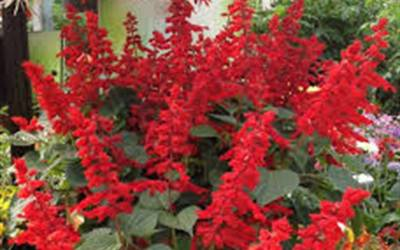 Shop Saucy Red Salvia - 2.5 Quart