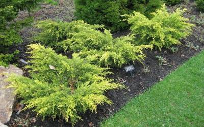 Shop Saybrook Gold Juniper - Juniperus Pfitzeriana 'Saybrook Gold' - 1 Gallon