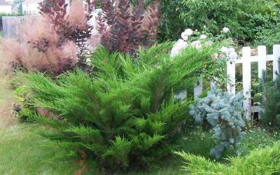 Shop Seagreen Juniper - 1 Gallon