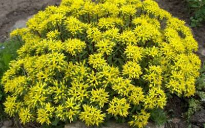 Buy Perennials for Groundcover or Crevices Online