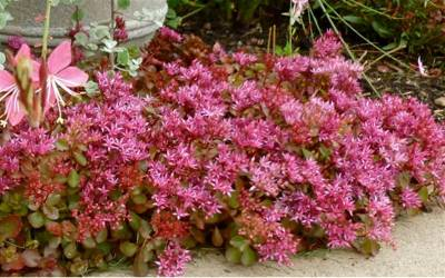 "Shop Red Carpet Stonecrop - 10 Count Flat of 4.5"" Pots"