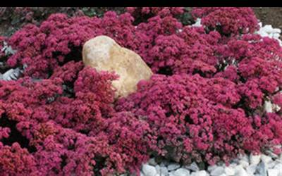 Shop Sunsparkler Dazzleberry Stonecrop Sedum - 8 Count Flat of Quart Pots