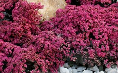 Shop Sunsparkler  Firecracker Sedum  - 8 Count Flat of Quart Pots
