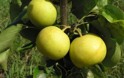 Shop Shinseiki Asian Pear - 5 Gallon