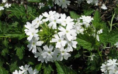 Shop Snow Flurry Hardy Verbena - 3 Count Flat of Pint Pots