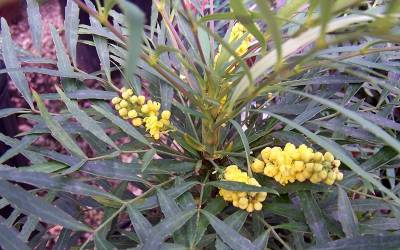 Mahonia Shrubs