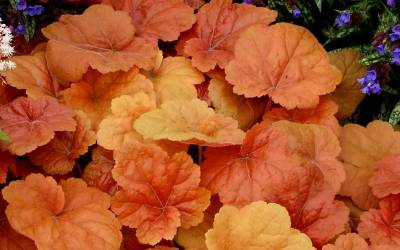 Shop Southern Comfort Heuchera - Coral Bells - 1 Gallon