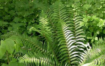 Shop Southern Shield Fern - 1 Gallon