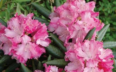 Buy Rhododendrons & Native Azaleas Online