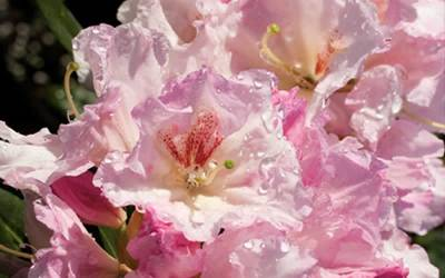 Shop Southgate Breezy Rhododendron - 2 Gallon
