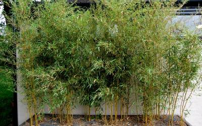 Shop Spectabilis Green Groove Bamboo - 2 Gallon