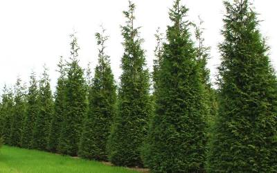Shop Thuja x 'Steeplechase' - 3 Gallon
