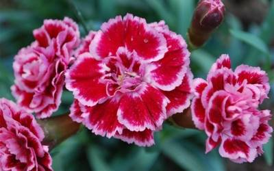 Shop Sugar Plum Carnation - 8 Count Flat of Quart Pots