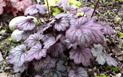 Buy Heuchera - Coral Bells / Alumroot Online
