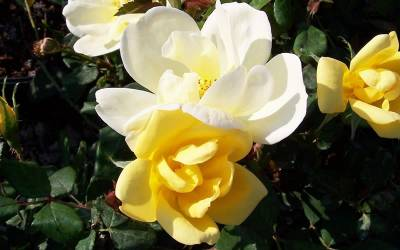Shop Sunny Knock Out Yellow Rose - 1 Gallon