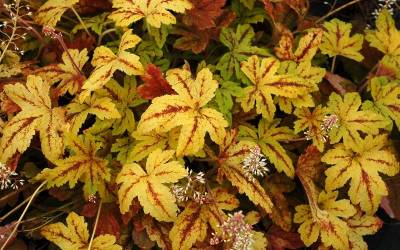 Heucherella - Foamy Bells