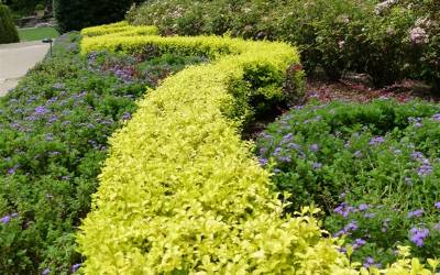 Shop Sunshine Ligustrum - 2.5 Quart