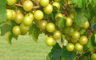 Shop Tara Muscadine - 1 Gallon