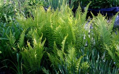 Shop The King Ostrich Fern - 1 Gallon