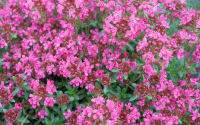"Shop Pink Chintz Thyme - 10 Count Flat of 4.5"" Pots"