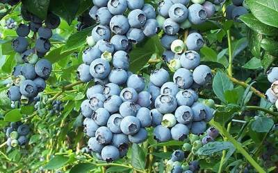 Blueberry Bushes - Rabbiteye
