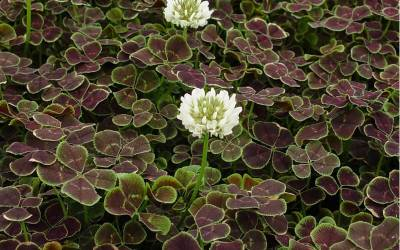 Trifolium - Dutch Clover