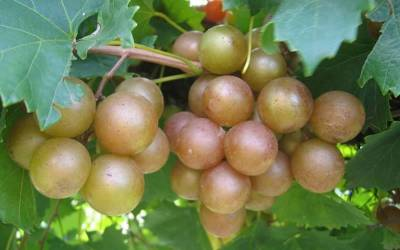 Shop Triumph Muscadine - 1 Gallon