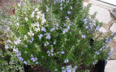 Buy Rosemary Shrubs Online