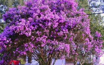 Shop Twilight Multi Crape  Myrtle - 1 Gallon