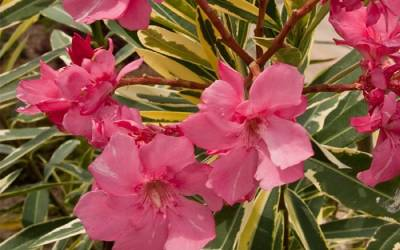 Shop Twist of Pink Oleander - 2 Gallon