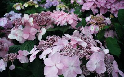 Endless Summer Hydrangea Series