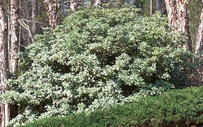Buy Pittosporum Shrubs Online