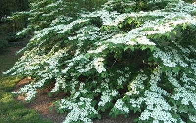 Shop Viburnum Shasta - 1 Gallon