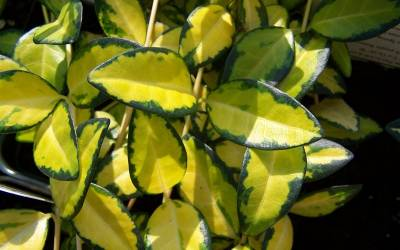Buy Evergreen Groundcover Plants Online