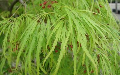 Shop Viridis Japanese Maple - 3 Gallon