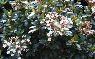Buy Butterfly Attracting Shrubs Online