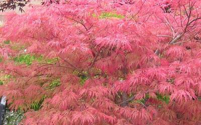 Buy Japanese Maples 6-10 Feet Online