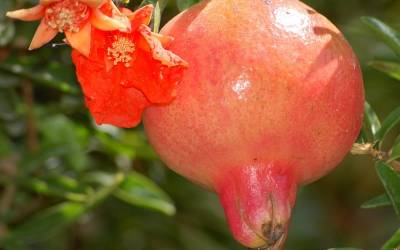 Shop Wonderful Hardy Pomegranate - 1 Gallon