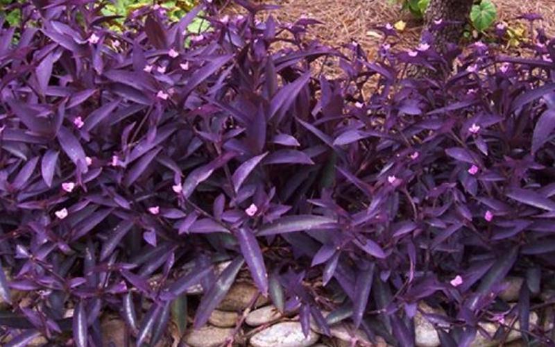 Purple heart spiderwort 18 count flat of 3 1 2 pots - Purple wandering jew plant ...