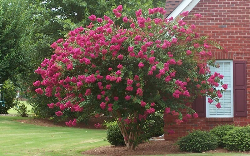 Tuscarora Crape Myrtle - 3 Gallon - Flowering Trees