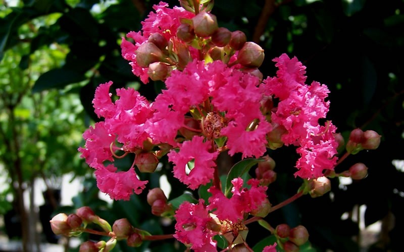 Tuscarora Crape Myrtle Photo 2