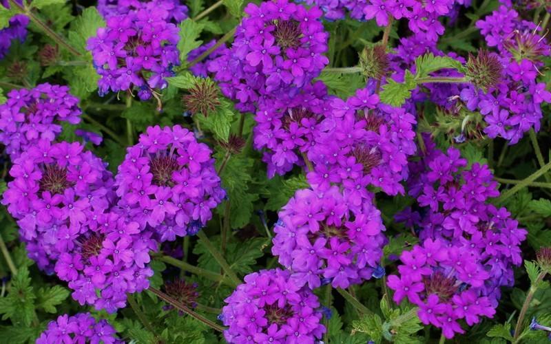 Homestead purple hardy verbena 1 gallon groundcover perennial homestead purple hardy verbena photo 1 mightylinksfo