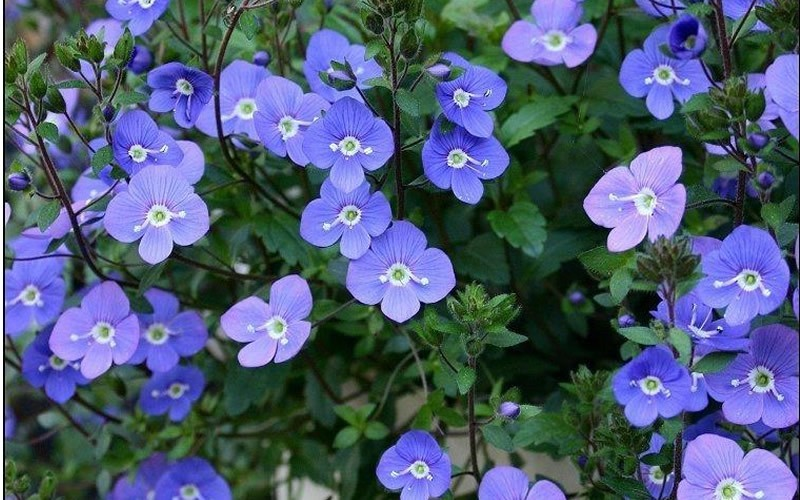 Georgia Blue Speedwell - 1 Gallon - Veronica - Spreading