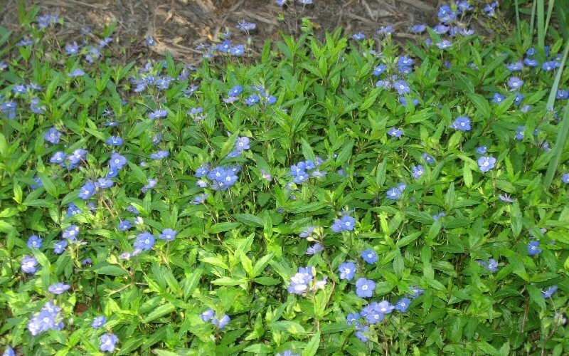 Georgia Blue Speedwell Photo 2
